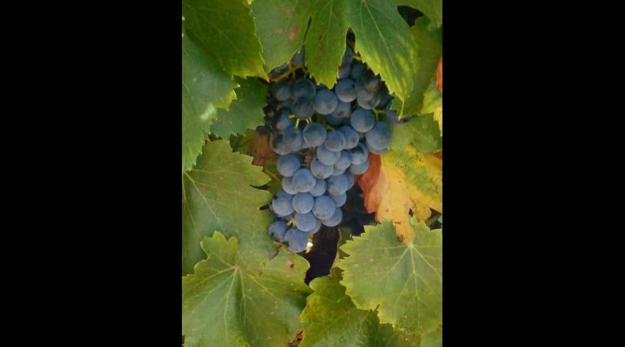 Minervois berries!