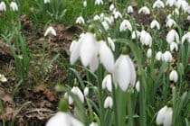snowdrops springtime must be on the way