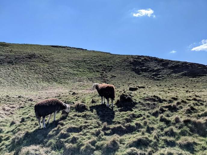 Hartland Quay to Hartland Point: gorgeous sheep sunning themselves