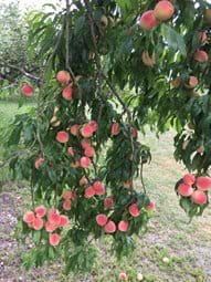 Help Yourself From the Fruit Orchard. Plums, peaches, pears and apples