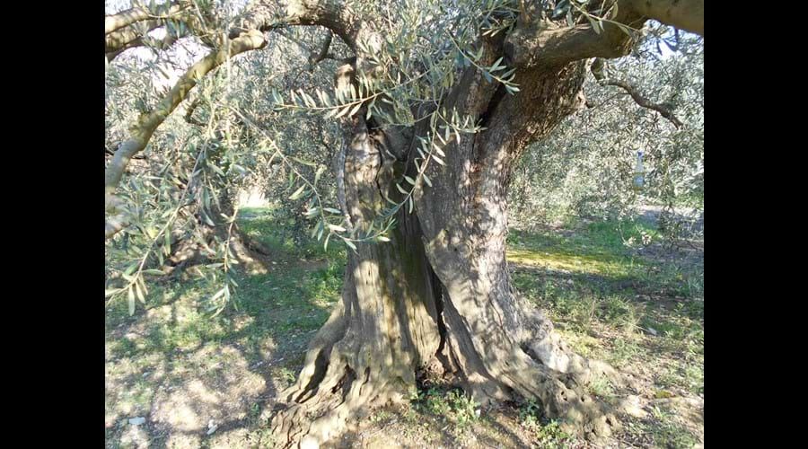 Bize-Minervois - Ancient Olive tree