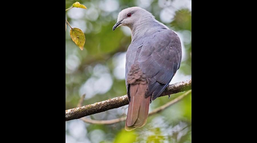 """The Barking Pigeon is indigenous to our island & has a distinct """"barking"""" sound as its call."""