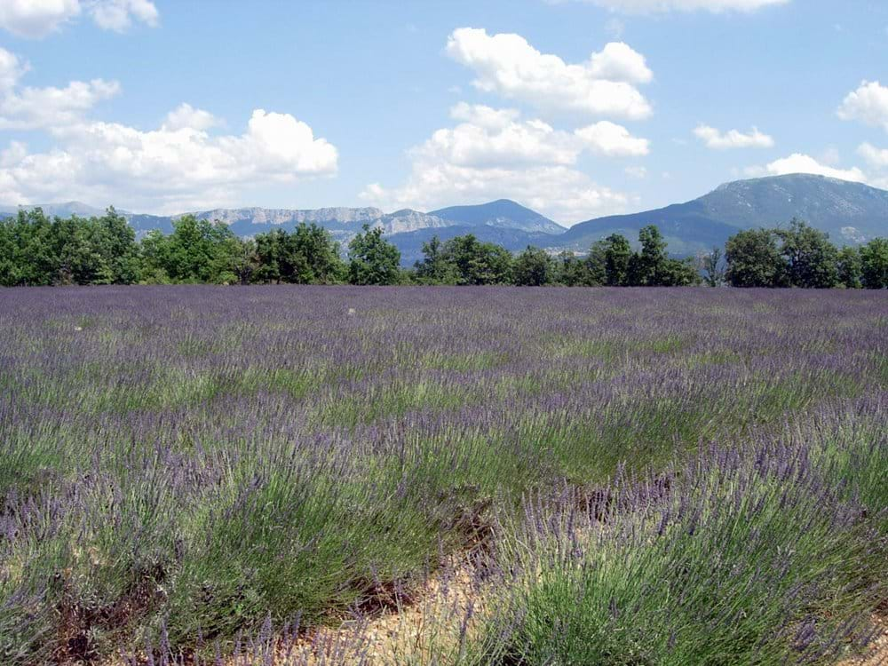 Lavender growing in local fields