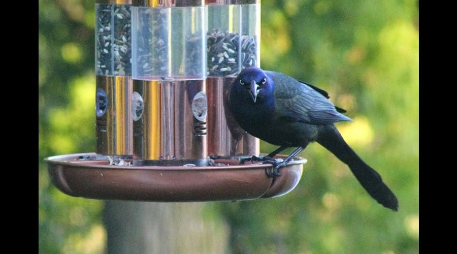 This Common Grackle does not appear to enjoy having his picture taken.