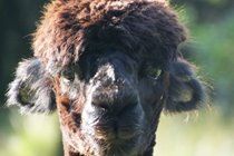 One of the neighbours from Bird Farm the local Alpaca breeders, you can also do day or half day basket weaving courses