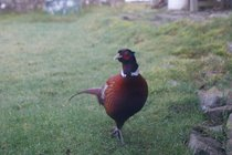 Philip the Pheasant is a regular visitor