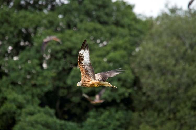 Red Kite not to far away- P Davidson