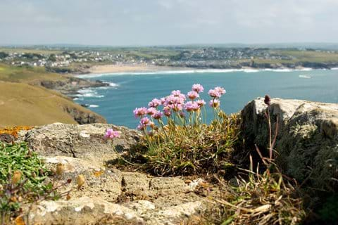 """Sea Pink"" flowers at the top of the cliffs, with Polzeath beach in the distance"