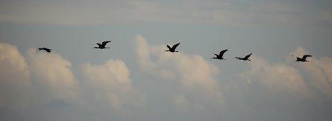 Glossy Ibis - Albufera