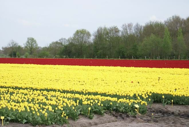 Nearby tulip fields
