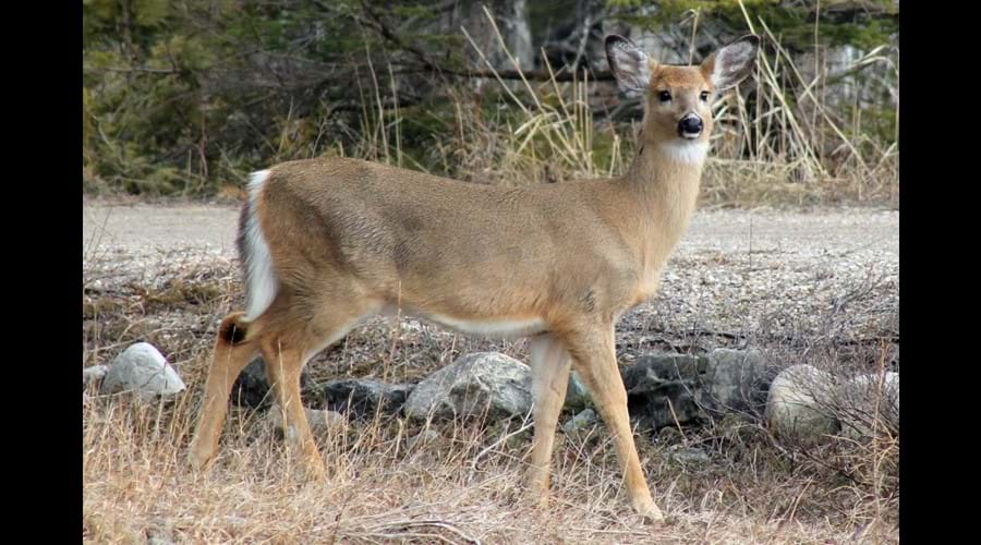 Deer that come to the edge of the road in the spring become much more elusive during the summer and fall.