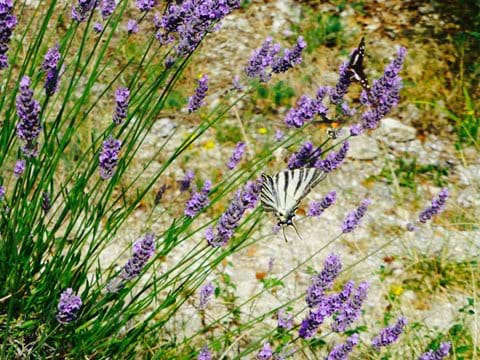 Scarce swallotail on lavender (less scarce then normal swallowtail here!)