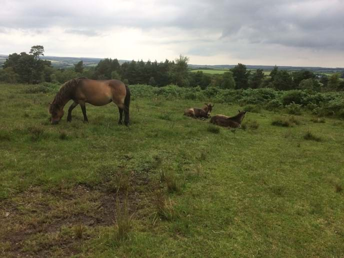Exmoor ponies on Haddon Hill