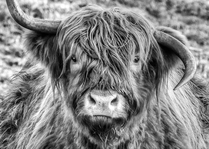 Moo'rag The Highland Coo  'Picture courtesy of Tom Doherty of Shinkickerimages.com'