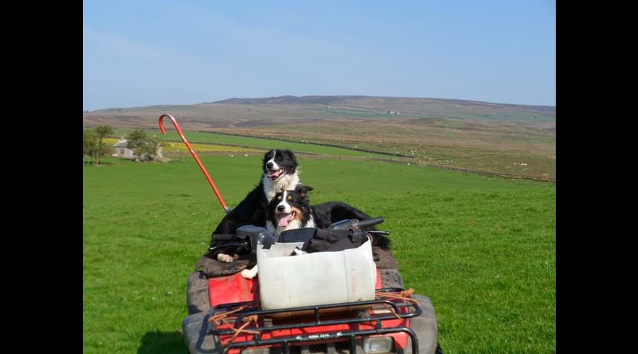 Sam & Fly enjoying a ride out on the allotment