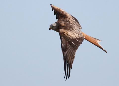 Red kite, flying