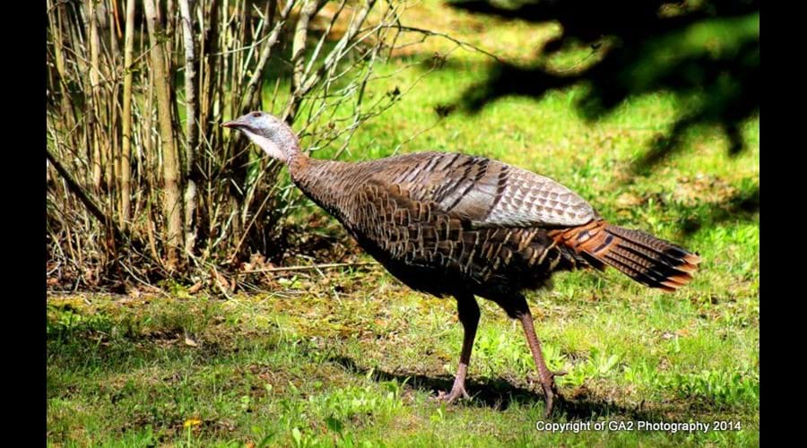 In the Spring of 2014, a hen turkey became a regular visitor around the Willow Bank. Bring your camera and take a moment to capture images of the wild-life that call this area home.