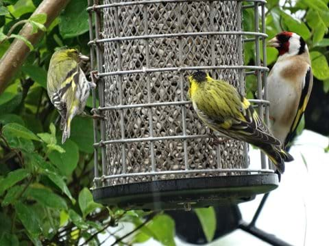 2 Siskins and a Gold finch