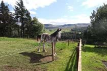 Meet your neighbour, the Clydesdale horse