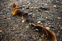 Kelp ribbon, Ramsey beach