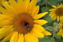 Sunflowers near La Caze
