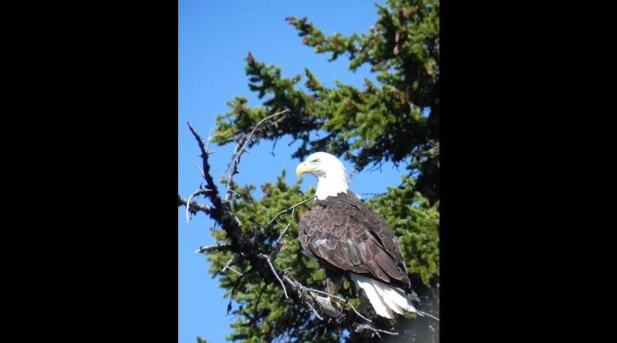 Bald eagle near Birch Lake