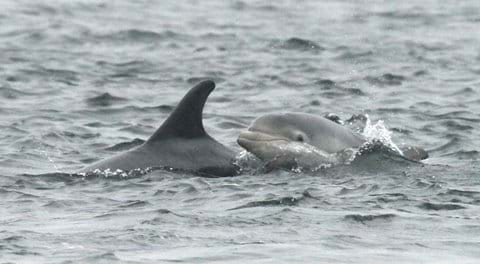 bottlenose dolphin and new calf