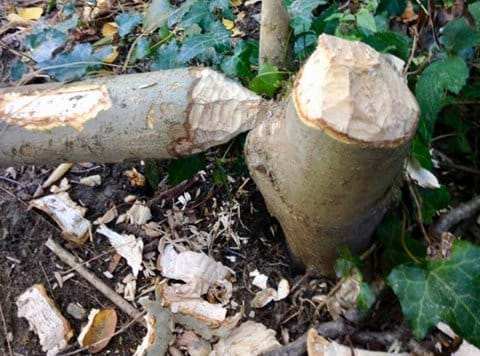 Beaver damage Castor