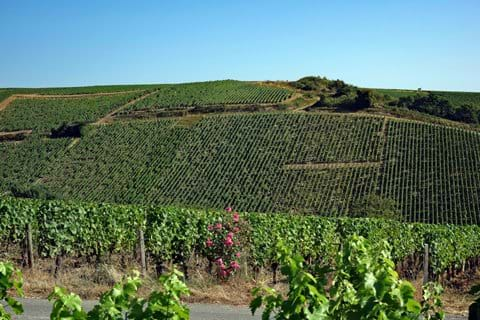 The local vineyards