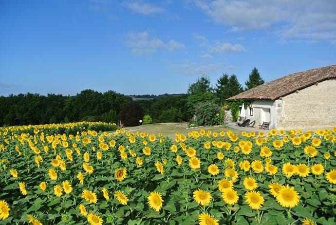 Gite L'Ecurie - surrounded by sunflowers summer 2015