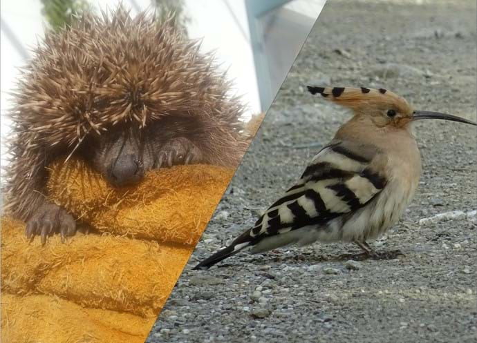 March 2016 - Visitations from a baby hedgehog and migrating hoopoes.
