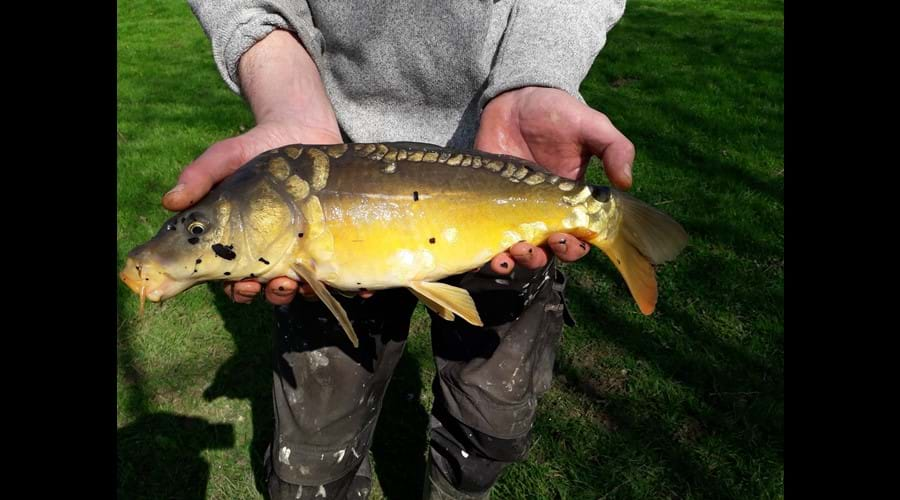 Mirror Carp from Lake