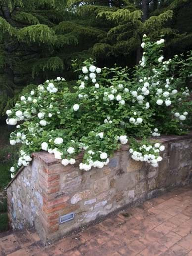 The end of the terrace in June (palla di neve or snowball viburnum)
