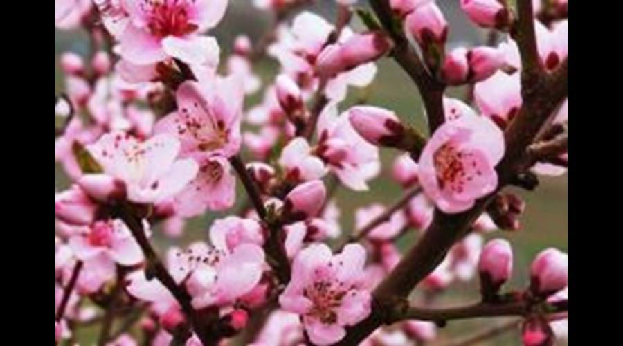 Blossom in Vineyard Peach Trees  Apart From Wonderful Wines Try Roter Weinebergpfirsh Products