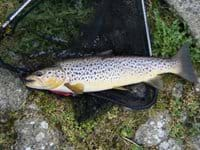Trout fished in lake