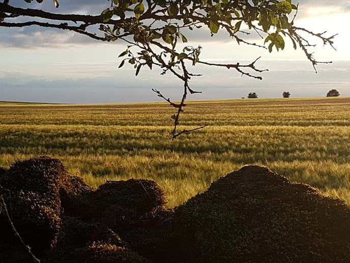 Wheat fields in the setting sun....
