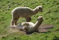 Alpaca fun