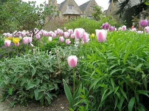 Tulip time at Hidcote