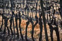 Local vines.
