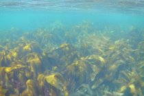 Kelp forest, Gansey Bay