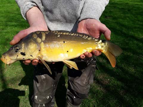Mirror Carp from our lake