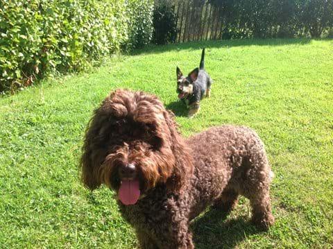 Mini and Mooch enjoying the secure garden at Three Gables