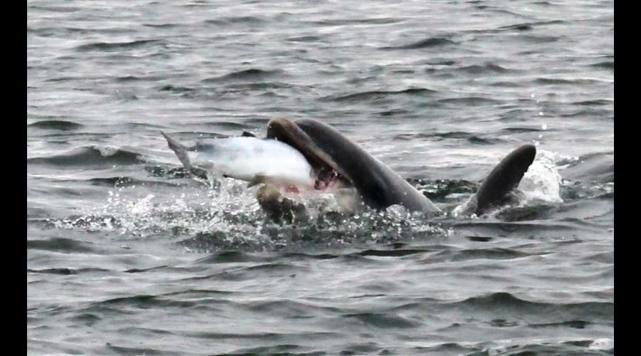 bottllenose dolphin enjoying a tasty salmon