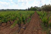 our vines - cabernet sauvignon grapes