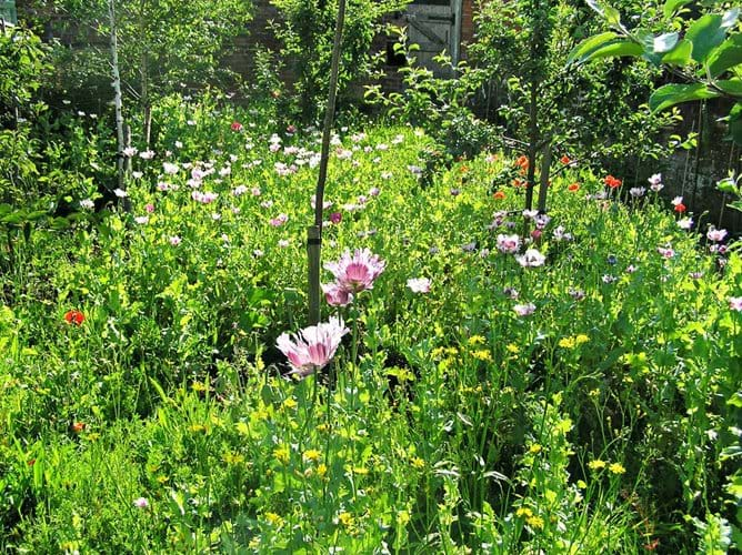 Our wildflower meadow in the orchard