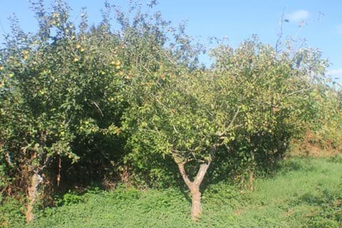 Fruit trees in the orchard