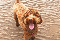 Sydney the Labradoodle enjoying the all year round dog friendly beach!