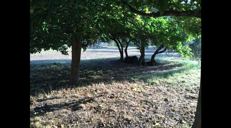Morning sun under the mulberry trees and olives