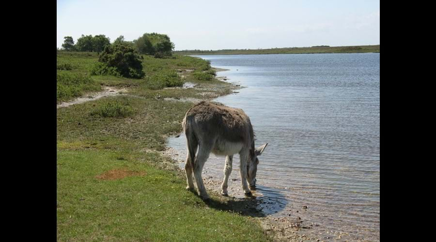 Donkey at Hatchet Pond