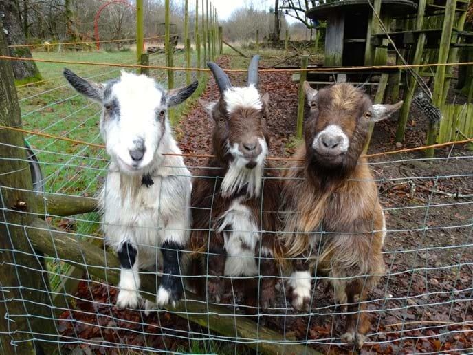 Karol (white) Darek (horns) Edek (old boy)